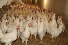 Geflügelhof Ludwig Waiblingen Hof frische Eier Bodenhaltung Hühnerstall schönes Gefieder Scharrraum