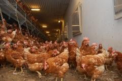Geflügelhof Ludwig Waiblingen Hof frische Eier Bodenhaltung Hühnerstall schönes Gefieder gesunde Hühner