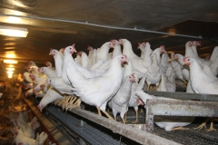Geflügelhof Ludwig Waiblingen Hof frische Eier Bodenhaltung Hühnerstall weiße Hühner