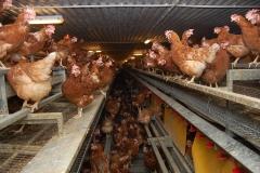 Geflügelhof Ludwig Waiblingen Hof frische Eier Bodenhaltung braune Hühner