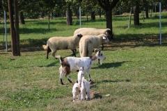 Geflügelhof Ludwig Waiblingen Streichelzoo Schafe Ziegen